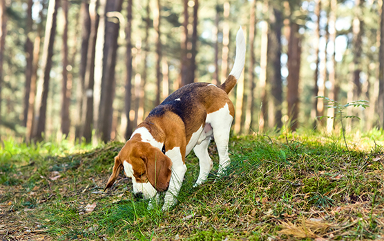 Beagle sniffering in the forest floor