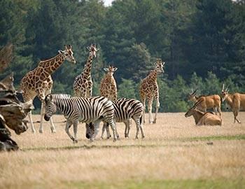 Giraffer på savannen