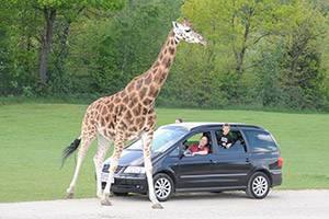 Safaritur hos girafferne