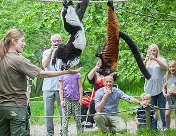 Fodring af lemurerne