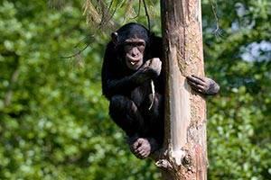 En chimpanse