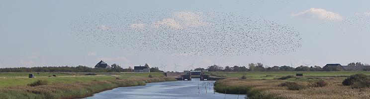 Stæreflokke flyver over marsken ved slusen i Højer