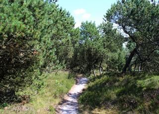 Den naturskønne Kirkeby Plantage med gode vandrestier ligger ved Kongsmark på Rømø