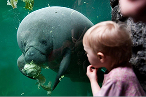 See a manatee in the eyes through the aquarium glass in Randers Regnskov