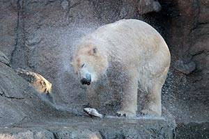 The polar bear Milak