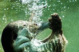 AQUA Otter jagt