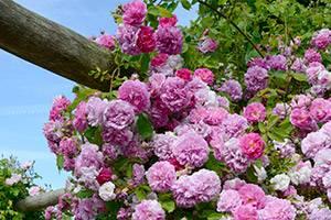 Roze bloemen rond een boom