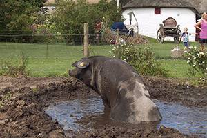 Pig in a muddy pool by Boldrup Museum