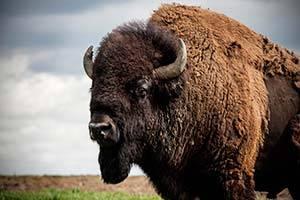 Bison på mark