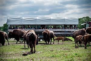 Publikum kigger på en bisonflok