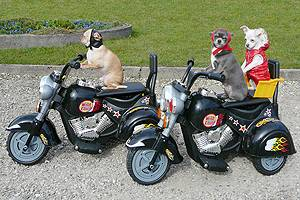 Experience when the small chihuahuas drive motocross