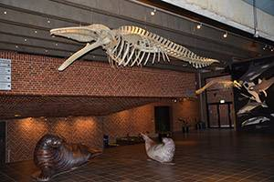 Whale skeleton at Fiskeri- og Søfartsmuseet