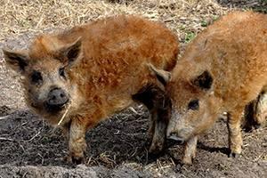 Uldne grise