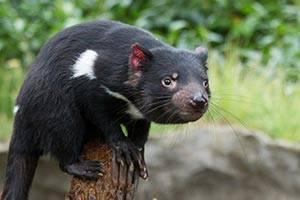 Tasmansk pungdjävul