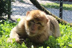 Barbary macaque in Munkholm Zoo