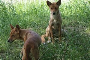 Zwei Dingos