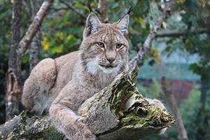 A lynx is lying on a log