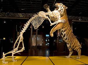 Preserved tiger and the skeleton of a tiger