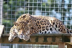 Jaguaren vilar