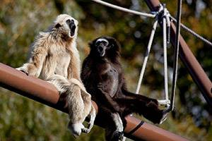 Spider monkeys in Zoologisk Have
