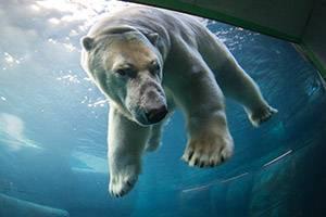 Isbjörn har dykt under vattnet
