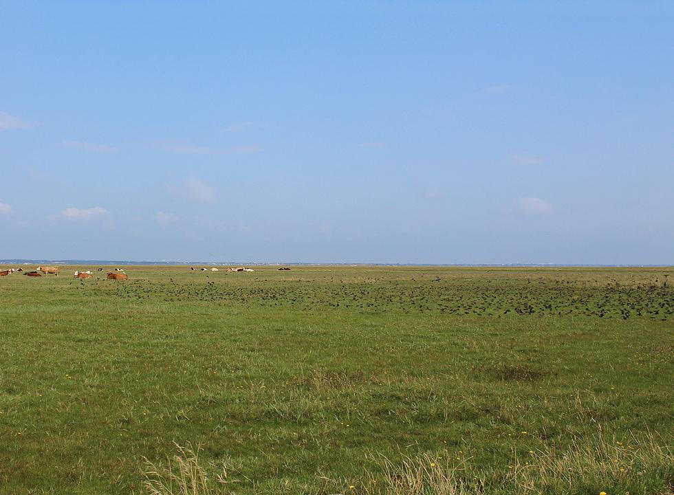 Rich animal life with grazing cows and flocks of starlings on Skallingen near Ho