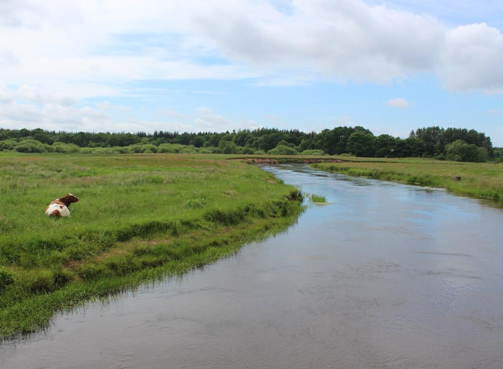 Cows graze on the lush meadows by the stream Skjern Å near Borris