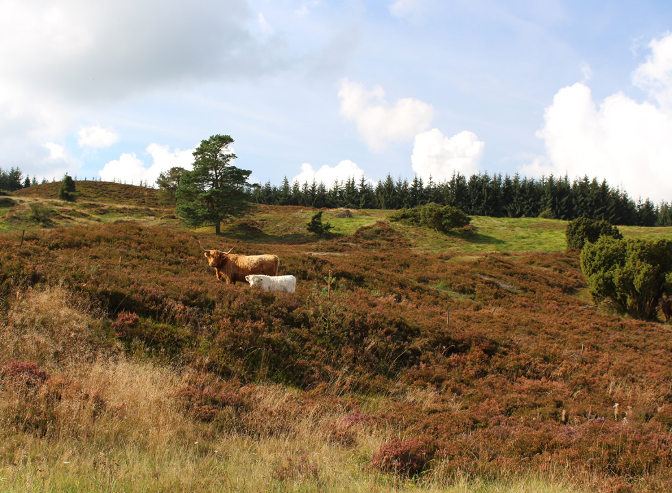 Beautiful and hilly moor landscapes with grazing highland caddle around Bryrup