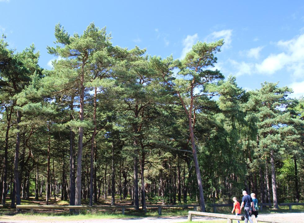 Behind the beach of Dueodde, nature is characterized by forest