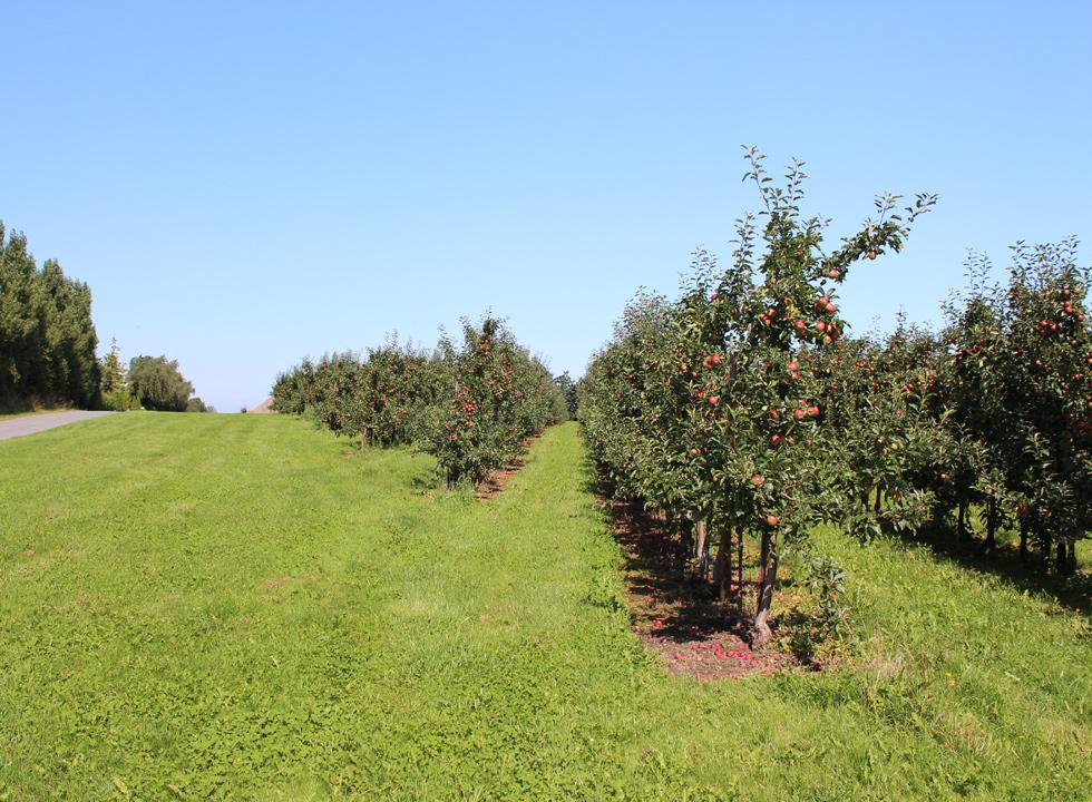 Close to the ferry harbour of Fejø you will find long rows of apple trees