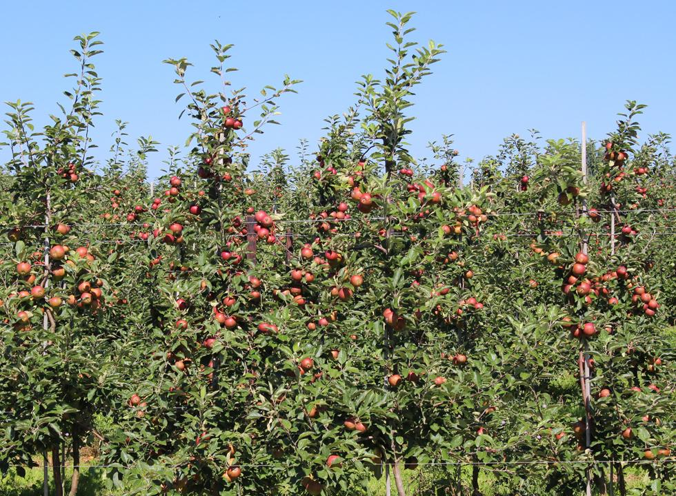 Fejø is very famous for its tasty apples as well as the local apple juice and cider