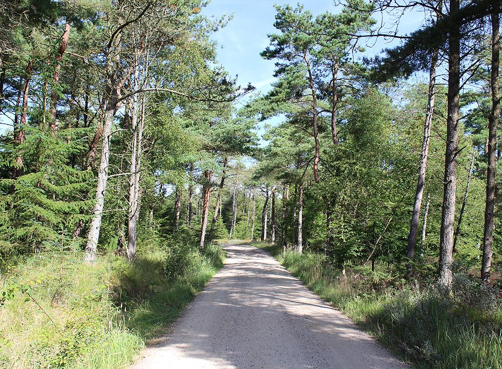 The forest between Grønne Strand and Svinkløv
