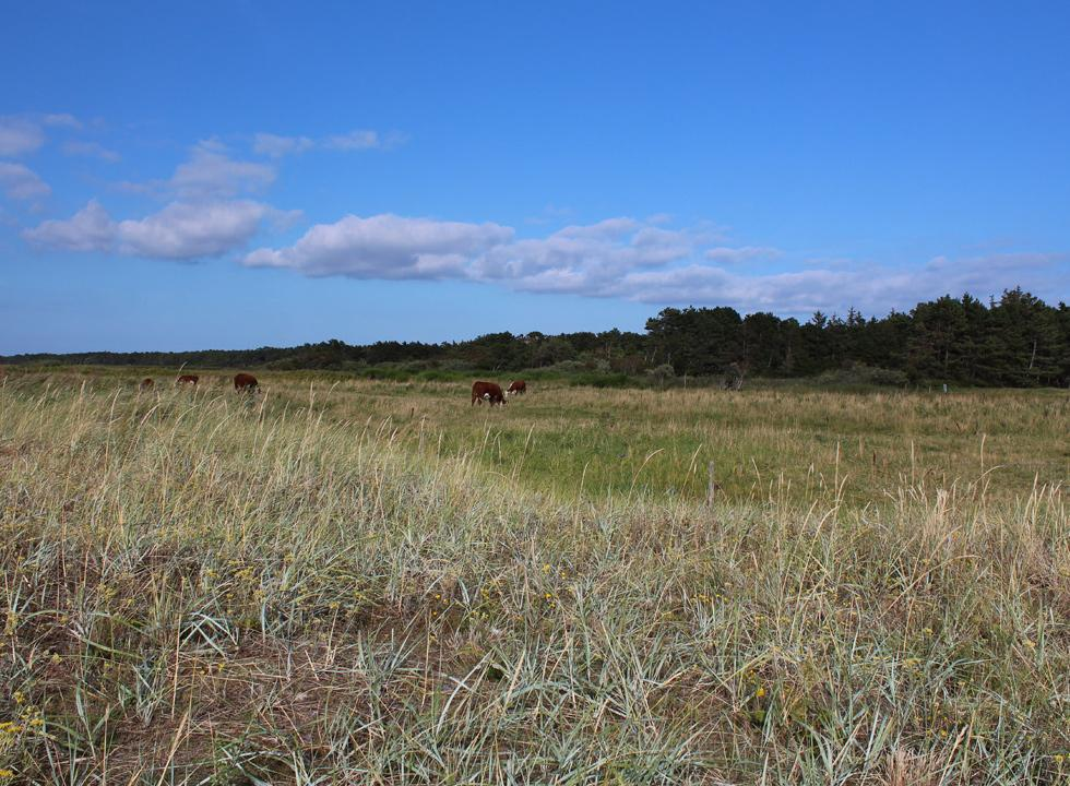 Grazing cows between the beach and the forest in Hønsinge Lyng