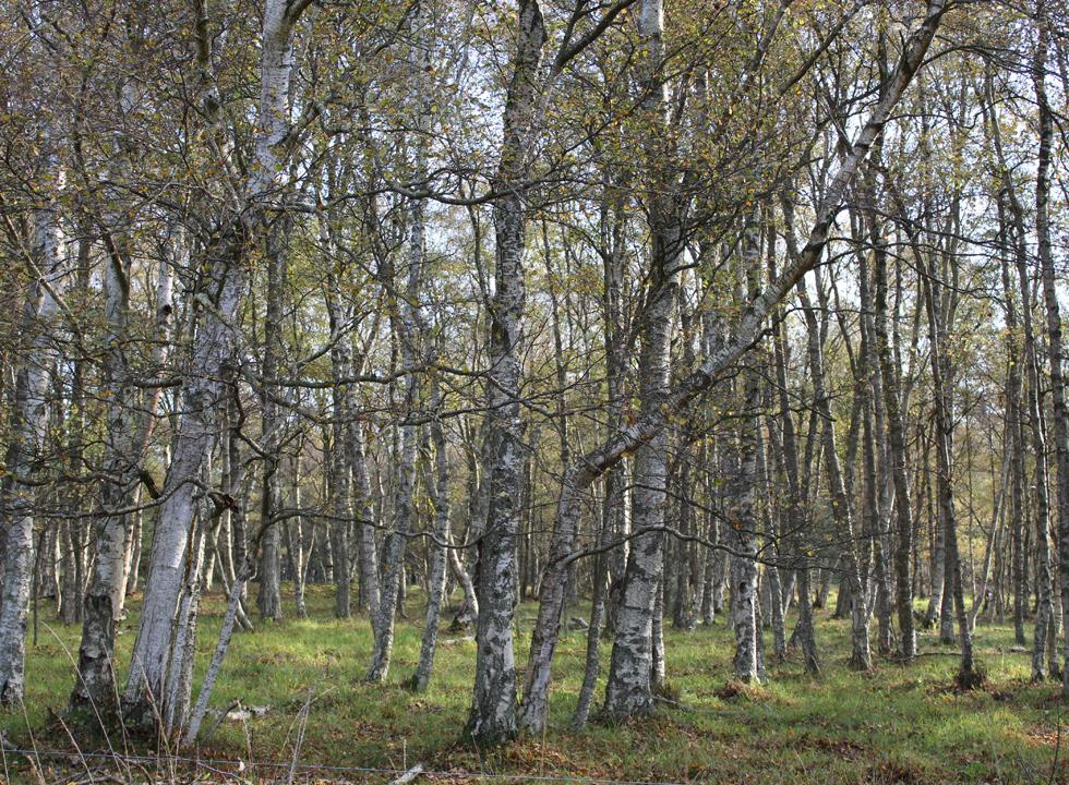 Birches characterize the dune plantation Laso Klitplantage, close to the holiday homes in Nordmarken
