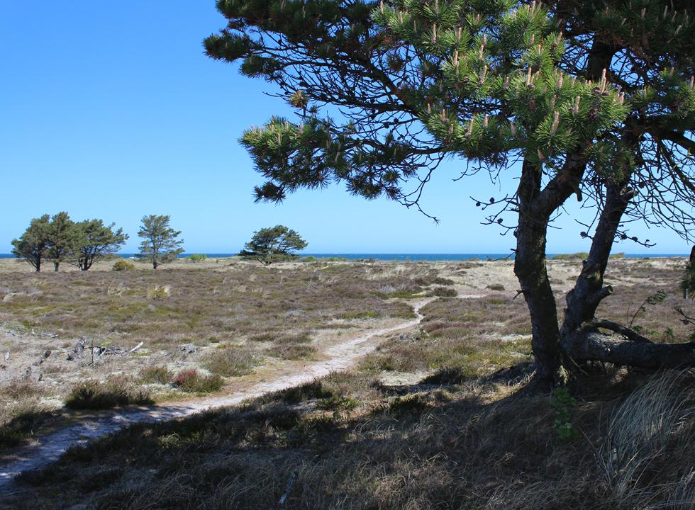 Path from the sea to the holiday homes in Nordmarken through a scenic nature area with heather