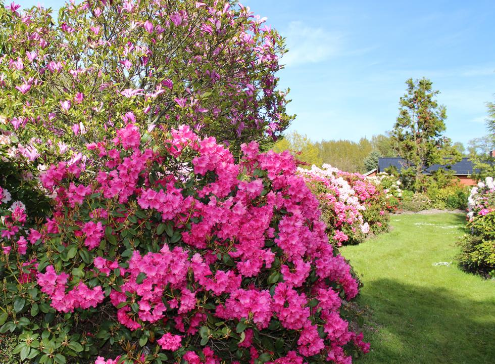 Experience a beautiful riot of colours when the flowers blossom in the park Laso Rhododendronpark in Osterby