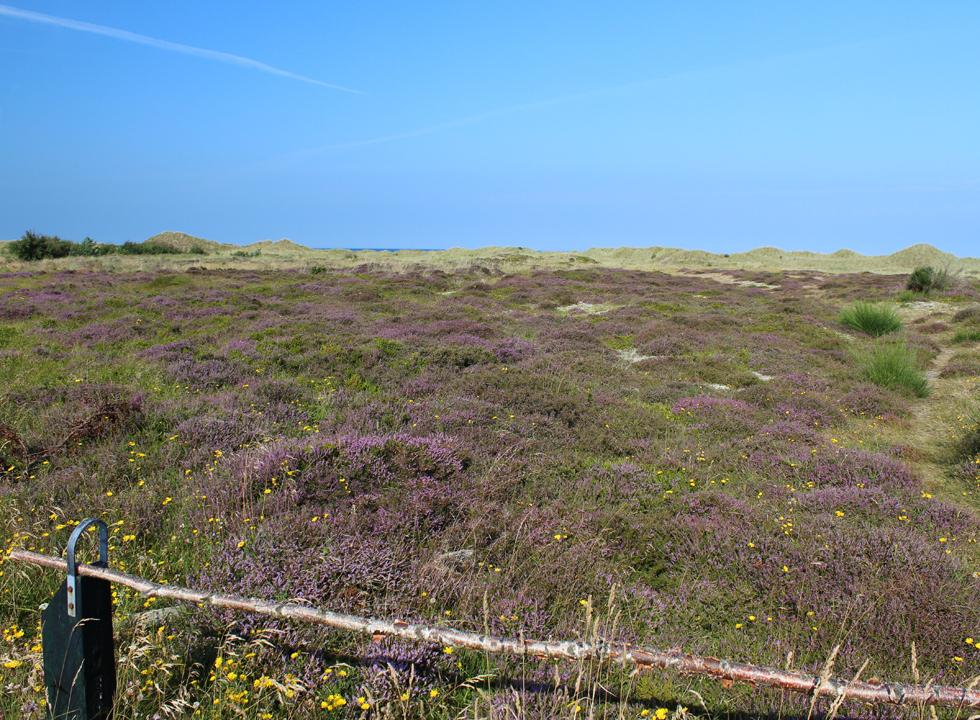 Beautiful nature area with heather between the holiday home area and the beach in Vestero Syd