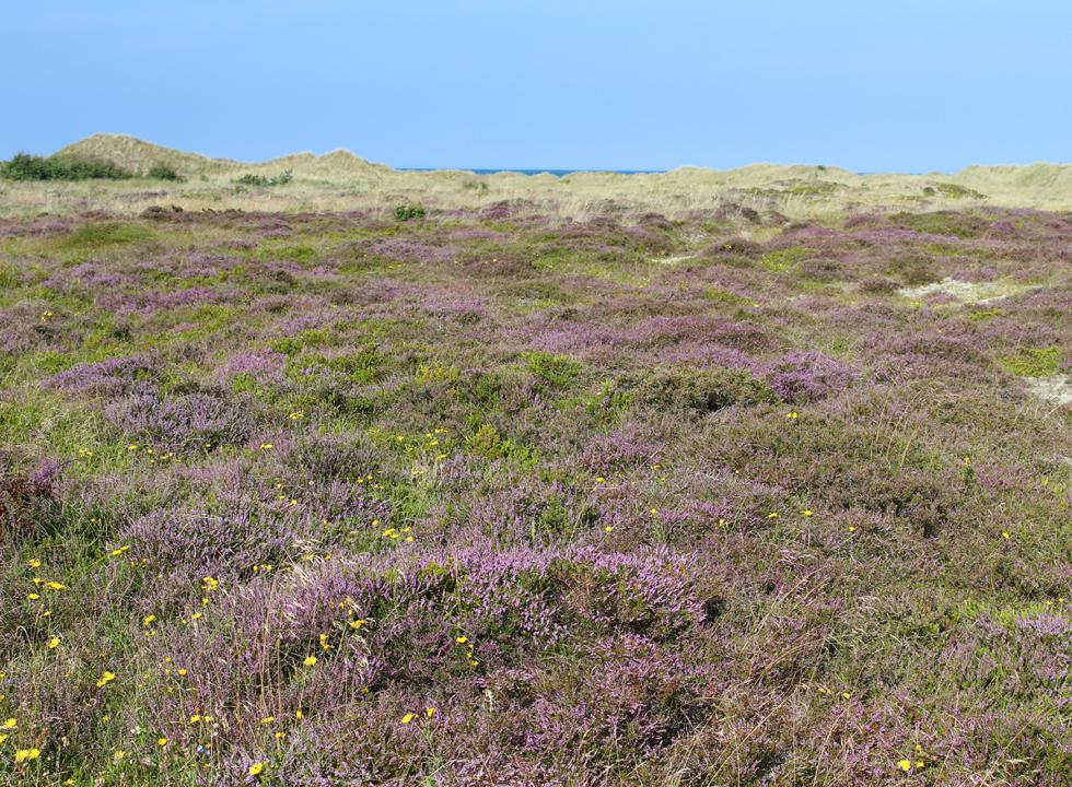 Beautiful heather landscapes behind the shore in the southern part of Vestero on Laso