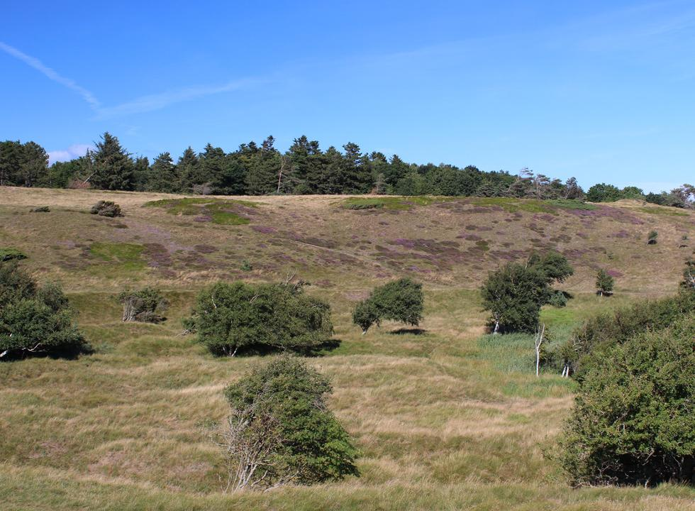 View of the hilly area Heatherhill near Rågeleje