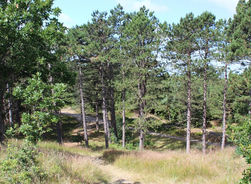 On the way towards the top of the hill Stagebjerg in Vråby Plantage, close to the holiday homes of Rømø, Vesterhede