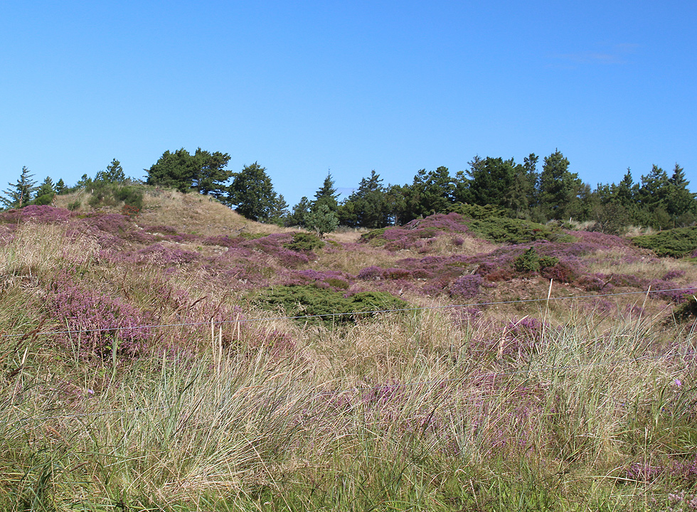 Scenic area with heather and dunes behind the shore in Slettestrand