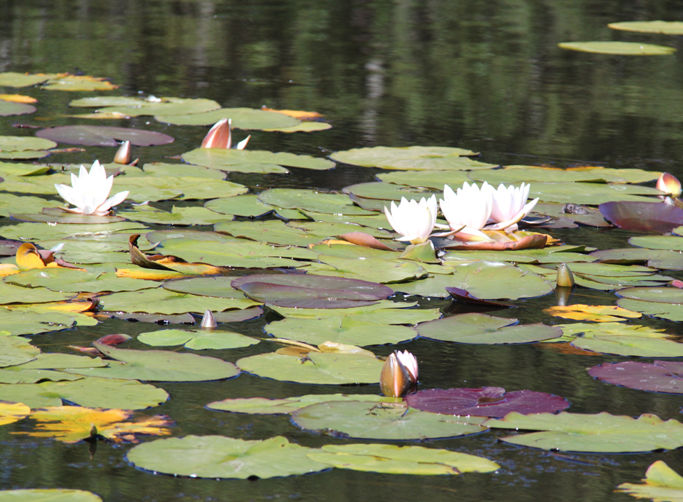 Water lilies in full flower on the lakes Tversted Søerne