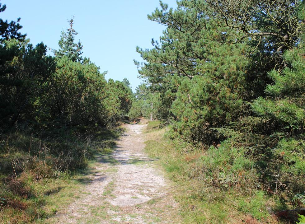 Path through the dune plantation in Vejers