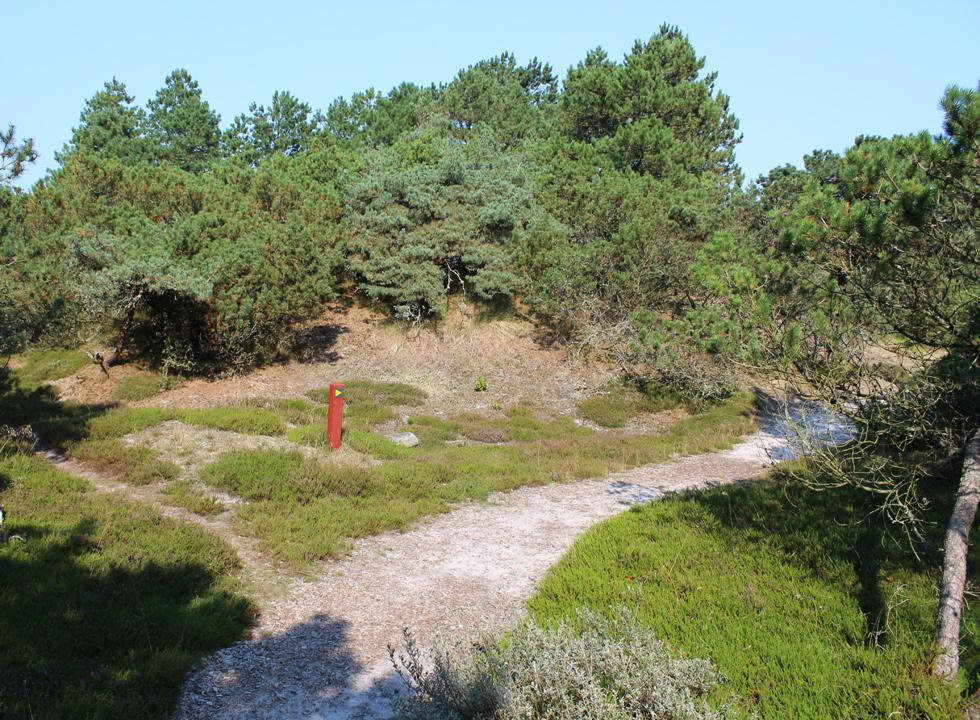 One of the scenic hiking paths through the dune plantation in Vejers