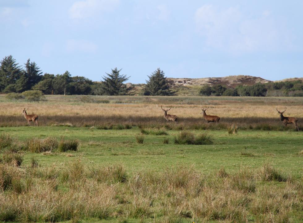 Red deer in the dune plantation behind the holiday home area in Vejers