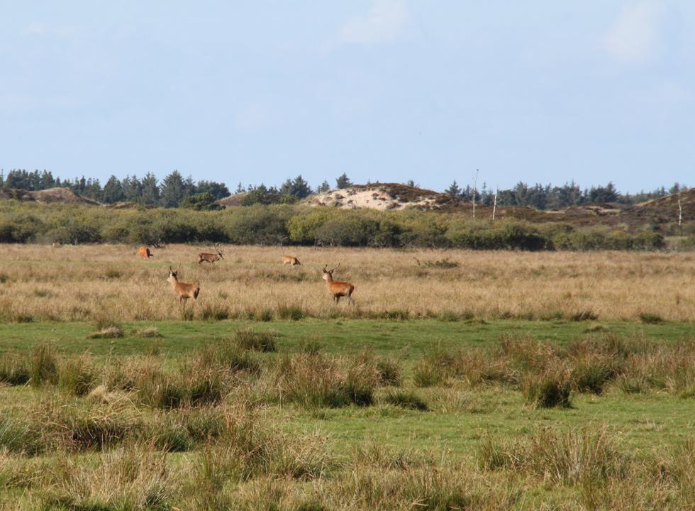 Red deer in the scenic dune landscape behind the dune plantation of Vejers