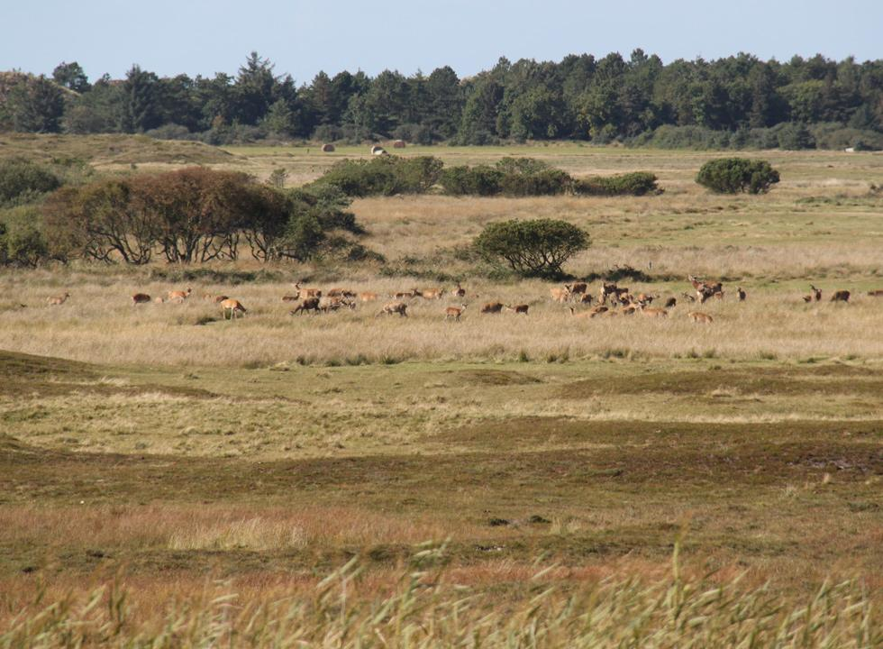 A large flock of red deer behind the dune plantation and the holiday homes in Vejers